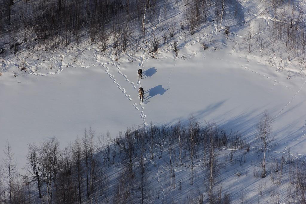 Лосей и оленей посчитали в Магаданском заповеднике